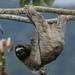 Perezoso de Tres Dedos - Photo (c) Daniel Hinckley, algunos derechos reservados (CC BY-NC-ND)