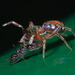 Jade Jumping Spider - Photo (c) portioid, some rights reserved (CC BY-SA)