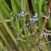 Coast Flax-Lily - Photo (c) James Bailey, some rights reserved (CC BY-NC)