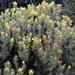 Castilleja hololeuca - Photo (c) dlbowls, algunos derechos reservados (CC BY-NC)