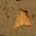 Angle-striped Sallow - Photo (c) Paul Cools, some rights reserved (CC BY-NC)