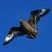Etelänkihu - Photo (c) David Cook Wildlife Photography, osa oikeuksista pidätetään (CC BY-NC)