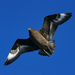 Escúa Parda - Photo (c) David Cook Wildlife Photography, algunos derechos reservados (CC BY-NC)