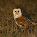 North American Barn Owl - Photo (c) Paul Cools, some rights reserved (CC BY-NC)