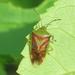 Elasmostethus interstinctus - Photo (c) Bryan Smith, algunos derechos reservados (CC BY-NC)
