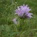 Campanula cervicaria - Photo (c) Juha Haataja, algunos derechos reservados (CC BY-NC-SA)