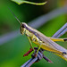 Olive-green Swamp Grasshopper - Photo (c) Mary Keim, some rights reserved (CC BY-NC-SA)