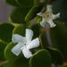 Alyxia buxifolia - Photo (c) sunphlo, algunos derechos reservados (CC BY-NC-ND)