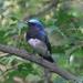 Papamoscas Azul - Photo (c) colinmorita, algunos derechos reservados (CC BY-NC)