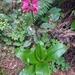 Clintonia andrewsiana - Photo (c) Liz, algunos derechos reservados (CC BY-NC)