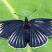 Mariposa Parche Negra con Rayas Blancas - Photo (c) Ricardo Arredondo T., algunos derechos reservados (CC BY-NC)