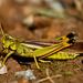 Stethophyma lineatum - Photo (c) Denis Doucet, algunos derechos reservados (CC BY-NC)