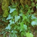 Atlantic Ivy - Photo (c) Martiño Cabana Otero, some rights reserved (CC BY)