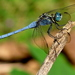 Slender Blue Skimmer - Photo (c) jeevan jose, some rights reserved (CC BY)