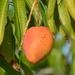 Mangos - Photo (c) Jean-Lou Justine, algunos derechos reservados (CC BY)