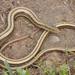 Slender Glass Lizard - Photo (c) johnwilliams, some rights reserved (CC BY-NC)