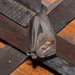 Great Fruit-eating Bat - Photo (c) Douglas Bete, some rights reserved (CC BY-NC)