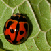 Variable Ladybird Beetle - Photo (c) Mark Yokoyama, some rights reserved (CC BY-NC-ND)