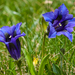 Trumpet Gentian - Photo (c) oggioniale, some rights reserved (CC BY-NC-ND)