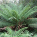Man Fern - Photo (c) oggioniale, some rights reserved (CC BY-NC-ND)