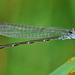 Azulilla de Arroyo del Norte - Photo (c) Jerry Oldenettel, algunos derechos reservados (CC BY-NC-SA)