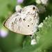 Anthene lemnos loa - Photo (c) Martin Grimm, alguns direitos reservados (CC BY-NC)
