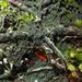 Dictyonema sericeum - Photo no hay derechos reservados
