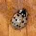Anatis labiculata - Photo (c) Lee Elliott, algunos derechos reservados (CC BY-NC-SA)