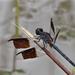 Erythrodiplax umbrata - Photo (c) Mary Keim, μερικά δικαιώματα διατηρούνται (CC BY-NC-SA)