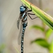 Blue-eyed Darner - Photo (c) Robert, some rights reserved (CC BY-NC)
