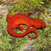 Red-spotted Newt - Photo (c) Travis W. Reeder, some rights reserved (CC BY-NC)