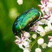 European Rose Chafer - Photo (c) Charlie Jackson, some rights reserved (CC BY)