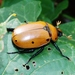 Grapevine Beetle - Photo (c) Keith Roragen, some rights reserved (CC BY-NC-SA)