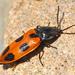 Anostirus vernalis - Photo (c) Denis Doucet,  זכויות יוצרים חלקיות (CC BY-NC)