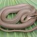 Coluber constrictor latrunculus - Photo (c) johnwilliams, algunos derechos reservados (CC BY-NC)