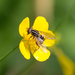 Striped Swamp Fly - Photo (c) Stas & Lana, some rights reserved (CC BY-NC)