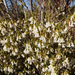 Leucopogon woodsii - Photo (c) Wayne Martin, algunos derechos reservados (CC BY-NC)