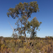 Eucalyptus arenacea - Photo (c) Wayne Martin, some rights reserved (CC BY-NC)