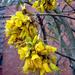 Sophora - Photo no hay derechos reservados