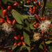 Eucalyptus oleosa - Photo (c) Wayne Martin, osa oikeuksista pidätetään (CC BY-NC)