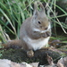 Japanese Squirrel - Photo (c) kyohei ito, some rights reserved (CC BY-SA)