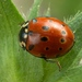 Eyed Ladybird Beetle - Photo (c) saturnindi, some rights reserved (CC BY-NC)