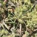 Caucalis platycarpos - Photo (c) Muriel Bendel, μερικά δικαιώματα διατηρούνται (CC BY-NC)