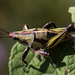 Cornfield Grasshopper - Photo (c) Anne, some rights reserved (CC BY-NC-SA)
