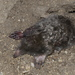 Townsend's Mole - Photo (c) Jerry Kirkhart, some rights reserved (CC BY)