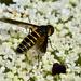 Lomatia - Photo (c) bathyporeia,  זכויות יוצרים חלקיות (CC BY-NC-ND)
