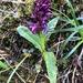 Dactylorhiza aristata - Photo (c) Jason Grant,  זכויות יוצרים חלקיות (CC BY)