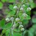 Anticlea virescens - Photo (c) Jerry Oldenettel, algunos derechos reservados (CC BY-NC-SA)