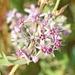 Cynanchum acutum - Photo (c) Kostas Zontanos, algunos derechos reservados (CC BY-NC)