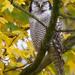 Hiiripöllö - Photo (c) Paul Cools, osa oikeuksista pidätetään (CC BY-NC)